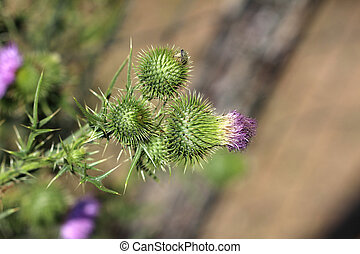 Thistle / Thistle is the common name of a group of flowering plants