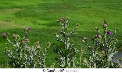 Thistle thorns in steppe in Russia - Thistle thorns in a...