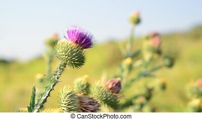 Thistle thorns (Latin Onopordum acanthium.) - Thistle...
