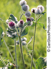 Thistle two