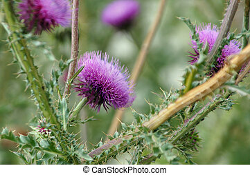 Thistle - Violett thistle close-up