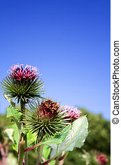 thistle weed wild flower - thistle against blue sky. wild ...