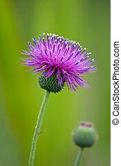 Thistle wildflower closeup