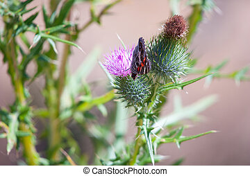 thistle with butterfly