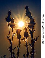 Thistles at sunrise. Vintage photo effect.
