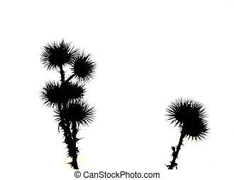 Thistles backlit photo isolated on white background