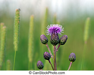 Thistles - Close up of purple thistles in summer