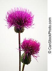 Thistles - Closeup of purple field thistles / cirsium