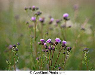 Thistles - Field of purple thistles in summer