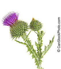Thistles flower and bud isolated on white background