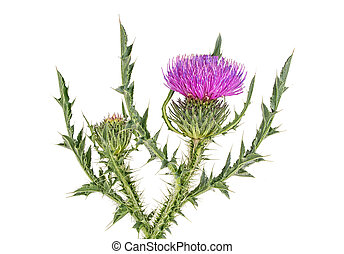Thistles flower isolated on a white background