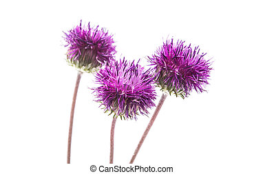 thistles flower isolated