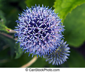 Thistles - Garden with blue globe thistles