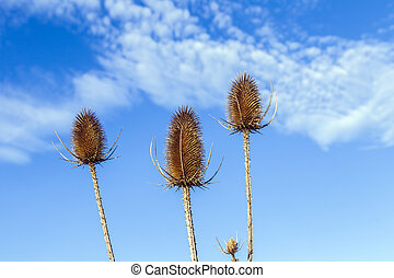 thistles in a field under blue sky