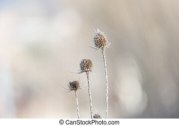 thistles prepared to collect seeds