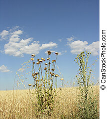 thistles with blue sky