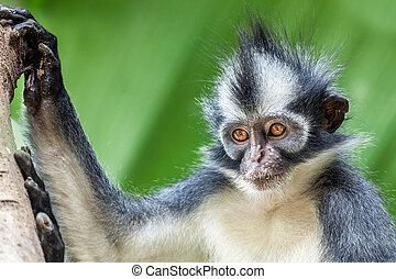 Thomas's leaf monkey. Bukit Lawang, Gunung Leuser National...
