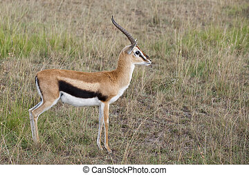 Thompson\'s gazelle at Masai Mara National Partk, Kenya