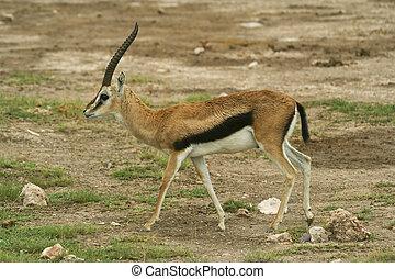 thompsons gazelle in kenya - a thompsons gazelle in amboseli...