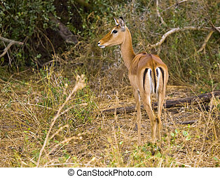 thomson, gazela
