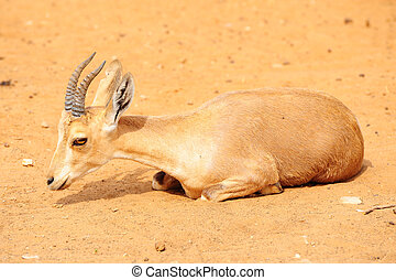 Gazelle - Thomson Gazelle, Eudorcas Thomsoni, Resting In The...
