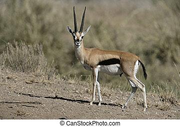 thomsonii, gazella, gacela, thomson's