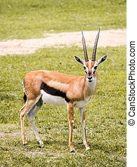 Thomson's gazelle standing in the grass field