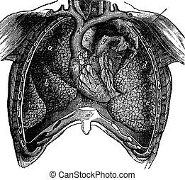 Thoracic cavity of man, previously opened and showing the internal organs, vintage engraving.