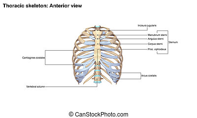 Thoracic Skeleton Anterior view - In vertebrate anatomy,...