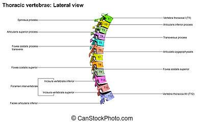 Thoracic Vertebrae Lateral view - The T6 vertebra lies in...