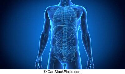 Thorax anatomy - Medical animation - thorax anatomy