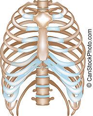 thorax-, bakhátak, szegycsont, csigolya