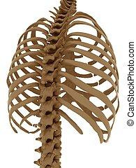 thorax - thorax