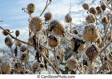 thorn apple in winter 03