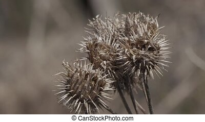 thorn burrs dry plant close up.