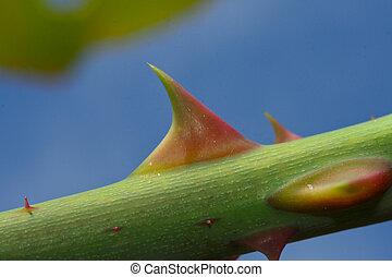 Thorn - Closeup shot of rose thorn.