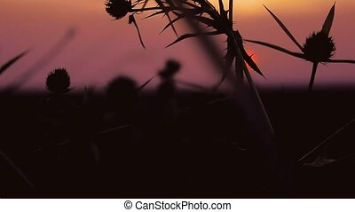 thorn sunset - camel thorn on background of sunrise sunset,...