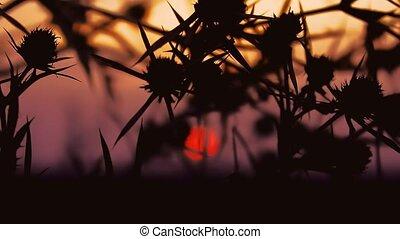 thorn sunset - thorn camel on background of sunrise sunset,...