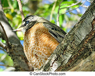 Thornhill American Robin on a tree 2017