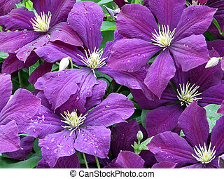 Big purple flowers named clematis or president flower after rain thornhill clematis flowers after rain 2017 mightylinksfo