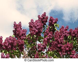 Thornhill lilac 2008