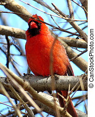 Thornhill male Northern cardinal on a branch 2018