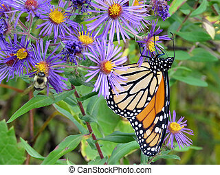Thornhill Monarch Butterfly and bee on a purple flower 2017