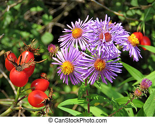 Thornhill rosehip and purple daisies 2017
