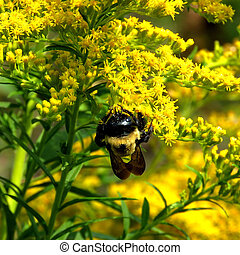 Thornhill the bumblebee on Goldenrod flowers 2017