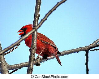 Thornhill the male Northern cardinal on a branch 2018