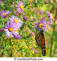 Thornhill the Monarch on wild asters 2017