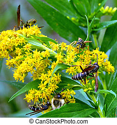 Thornhill wasps on the Goldenrod flowers 2017