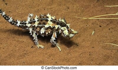 Thorny devil eating ants, Moloch horridus, on red sand in Desert Park at Alice Springs, Northern Territory, Central Australia. Insectivorous, they feed on small ants.