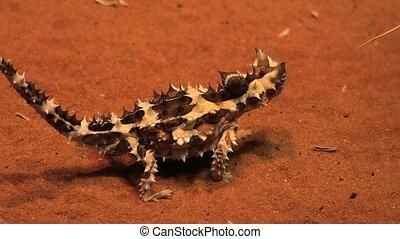 Thorny devil, Moloch horridus, on red sand in Desert Park at Alice Springs, Northern Territory, Central Australia. Insectivorous, they feed on small ants.